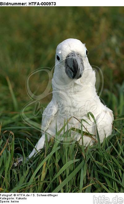 Kakadu im Gras / cockatoo in grass / HTFA-000973