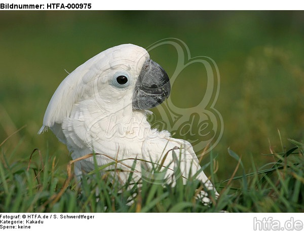 Kakadu im Gras / cockatoo in grass / HTFA-000975