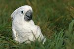 Kakadu im Gras / cockatoo in grass