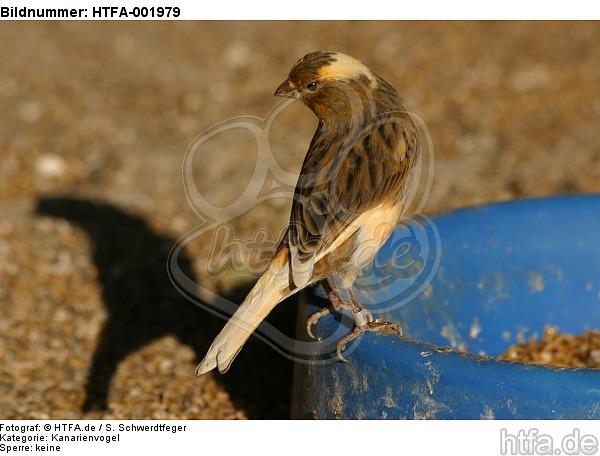 Kanarienvogel / canary / HTFA-001979