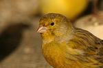 Kanarienvogel / canary