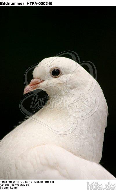 Pfautaube Portrait / fantail pigeon portrait / HTFA-000345