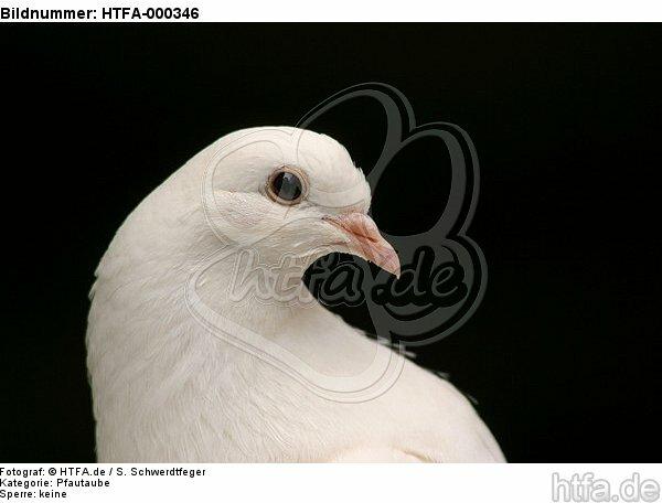 Pfautaube Portrait / fantail pigeon portrait / HTFA-000346
