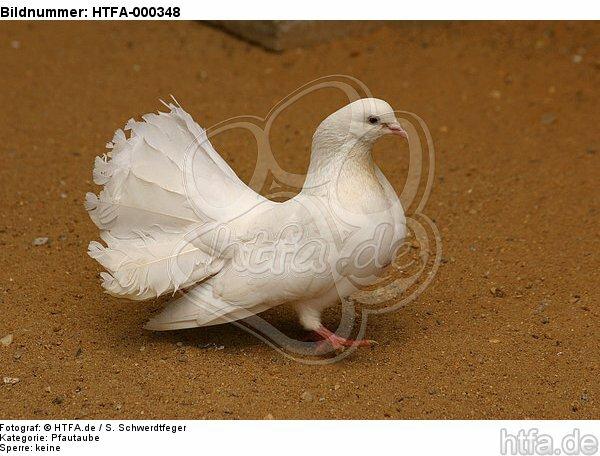 Pfautaube / fantail pigeon / HTFA-000348