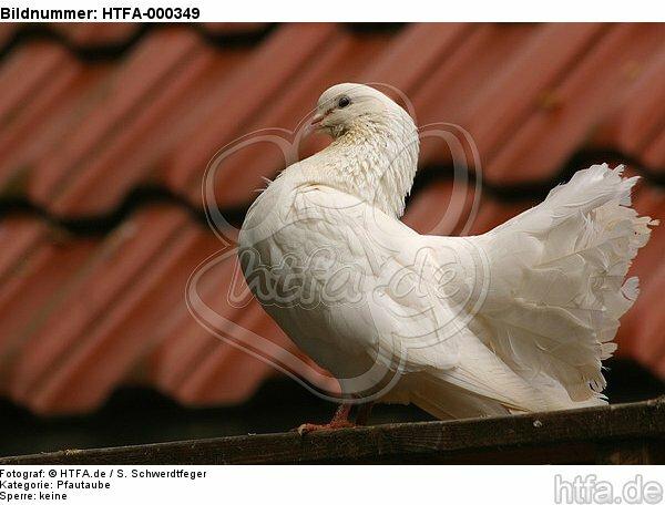 Pfautaube / fantail pigeon / HTFA-000349