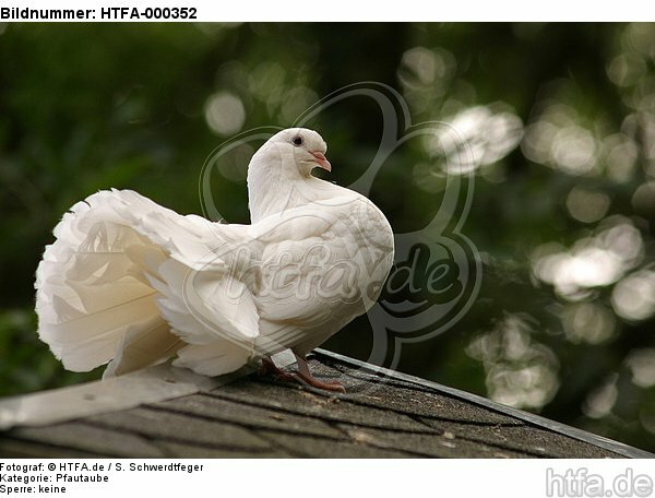 Pfautaube auf dem Dach / fantail pigeon on the roof / HTFA-000352