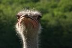 Stau� / ostrich