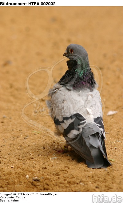 Taube / pigeon / HTFA-002002