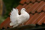 Pfautaube / fantail pigeon