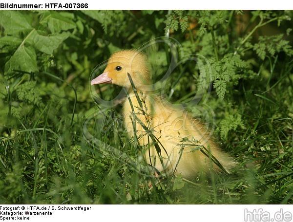 junge Warzenente / young muscovy duck / HTFA-007366
