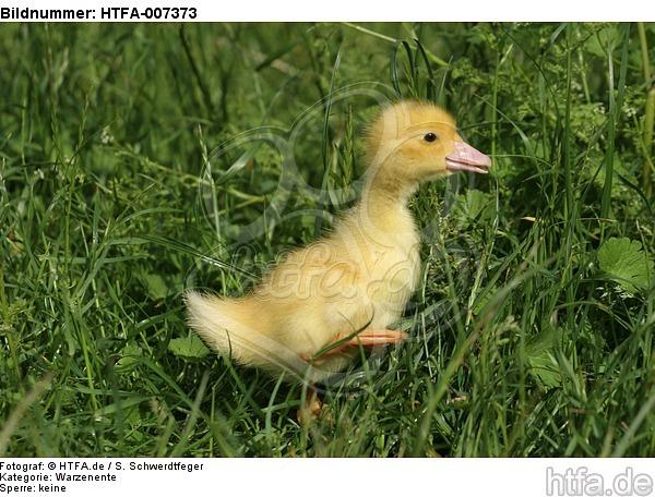 junge Warzenente / young muscovy duck / HTFA-007373