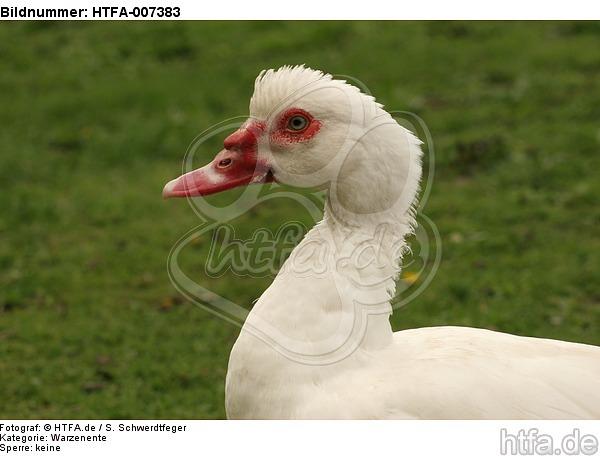 Warzenente / muscovy duck / HTFA-007383