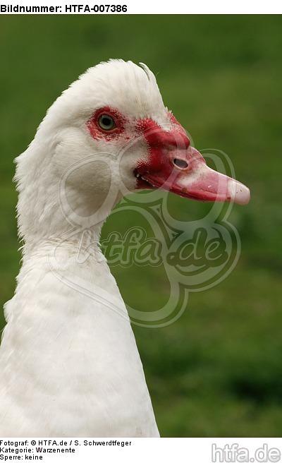Warzenente / muscovy duck / HTFA-007386