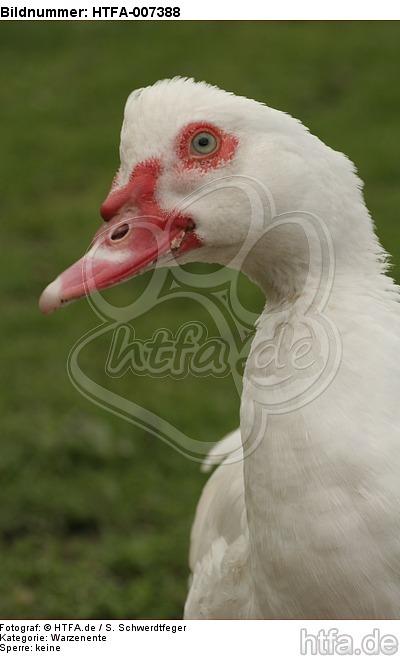 Warzenente / muscovy duck / HTFA-007388