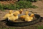junge Warzenenten / young muscovy ducks