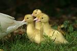 Warzenenten / muscovy ducks
