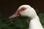 Warzenente / muscovy duck