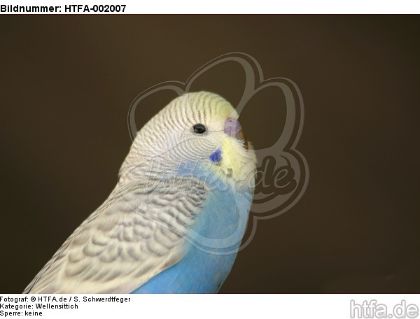 Wellensittich / budgie / HTFA-002007