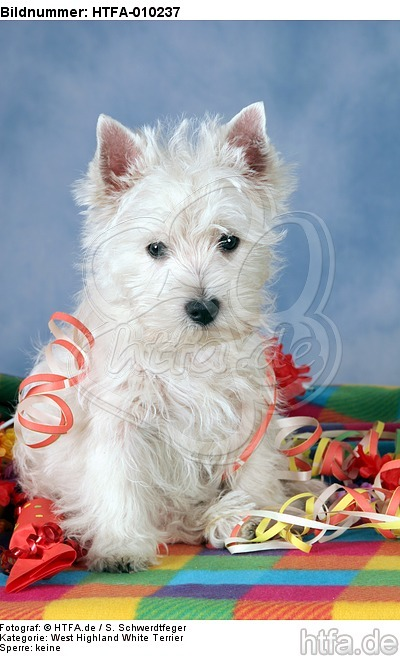 sitzender West Highland White Terrier Welpe / sitting West Highland White Terrier Puppy / HTFA-010237