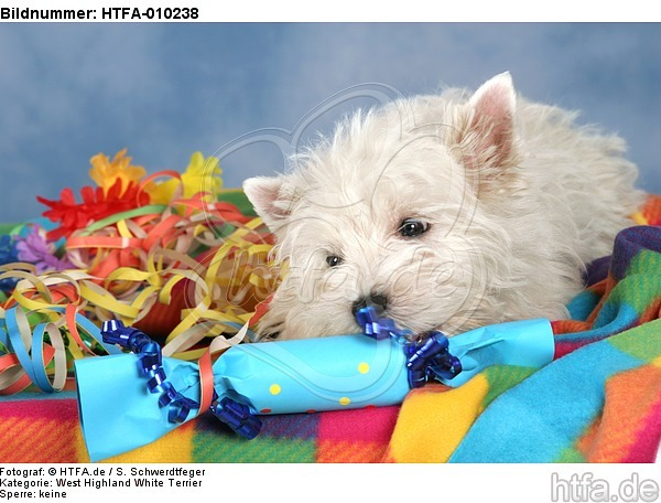 West Highland White Terrier Welpe / West Highland White Terrier Puppy / HTFA-010238