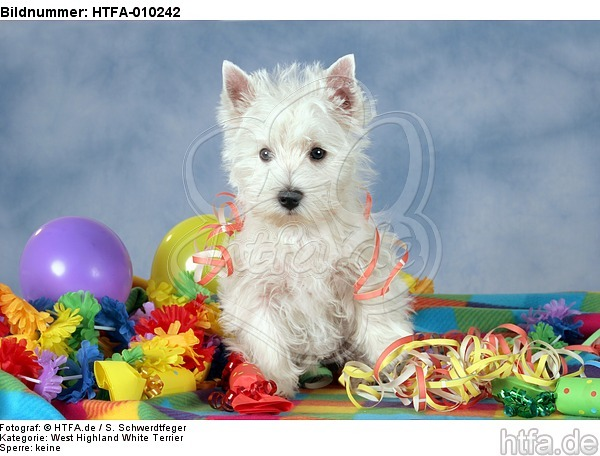 stehender West Highland White Terrier Welpe / standing West Highland White Terrier Puppy / HTFA-010242