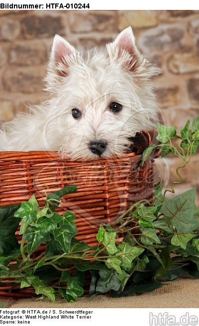 West Highland White Terrier Welpe / West Highland White Terrier Puppy / HTFA-010244