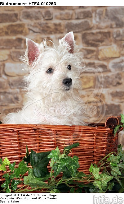West Highland White Terrier Welpe / West Highland White Terrier Puppy / HTFA-010253
