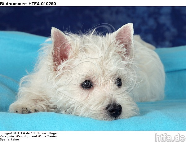 liegender West Highland White Terrier Welpe / lying West Highland White Terrier Puppy / HTFA-010290